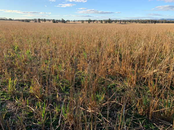 forage cereal crop going to head
